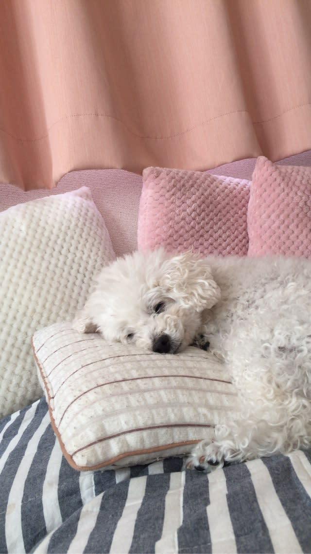 Image result for 犬 Bichon  私のベッドで眠っている