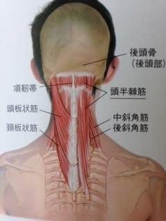 股関節と首の筋肉の関係性! - 笑顔あふれる生活へ!~股関節 ...