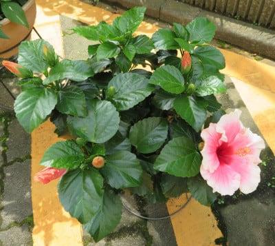 ハイビスカス の鉢植え