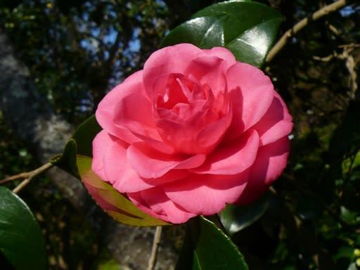 城山公園で咲き始めた椿