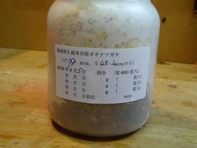 ビン 交換 菌糸