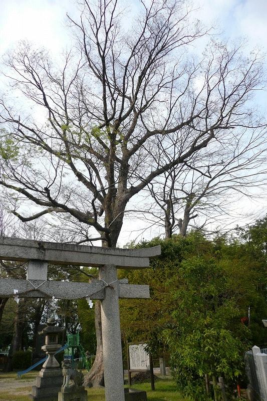 八坂神社の鳥居とケヤキの巨樹