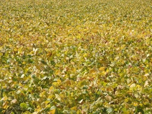 大豆の黄葉