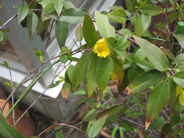 黄色いジャスミンの画像
