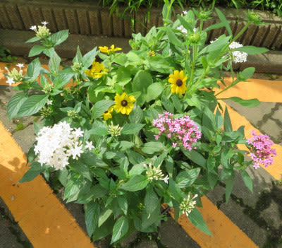 ペンタス の寄せ植え鉢