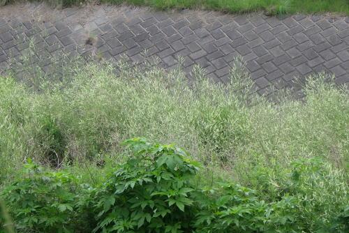 田川のシロバナシナガワハギ(白花品川萩)