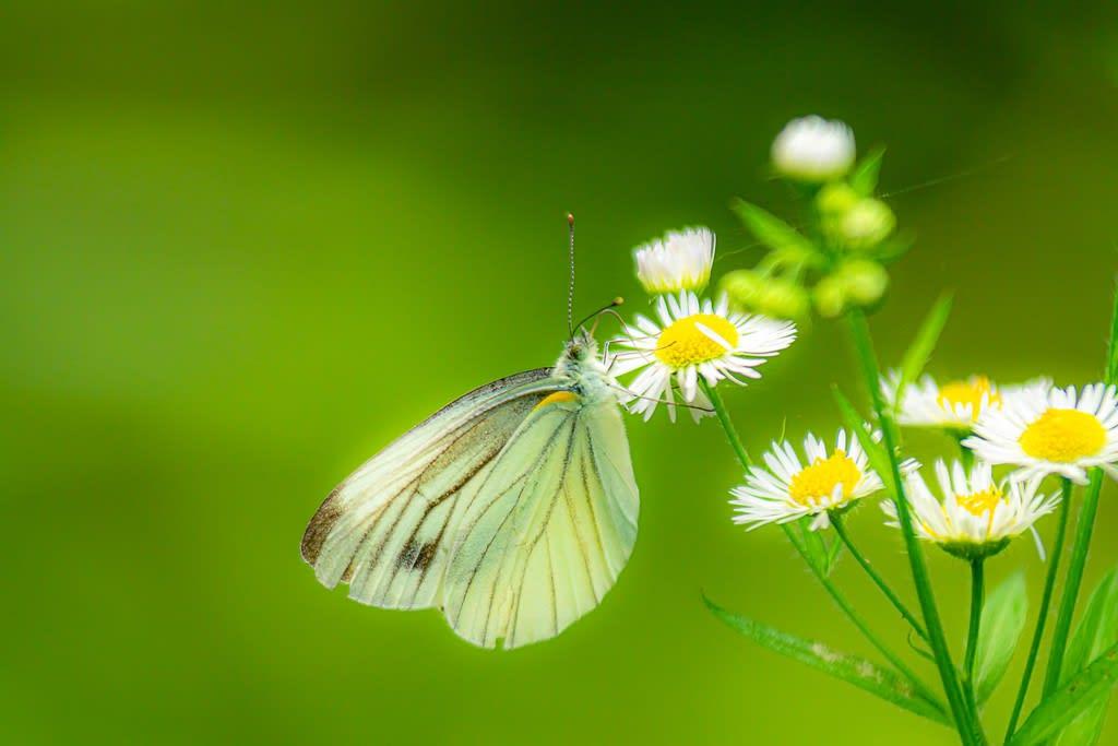 スジグロシロチョウの写真