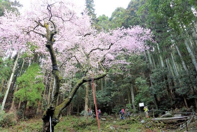 野ねずみ山日記 虎尾桜の春 IN ...
