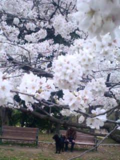 家横緑地の桜