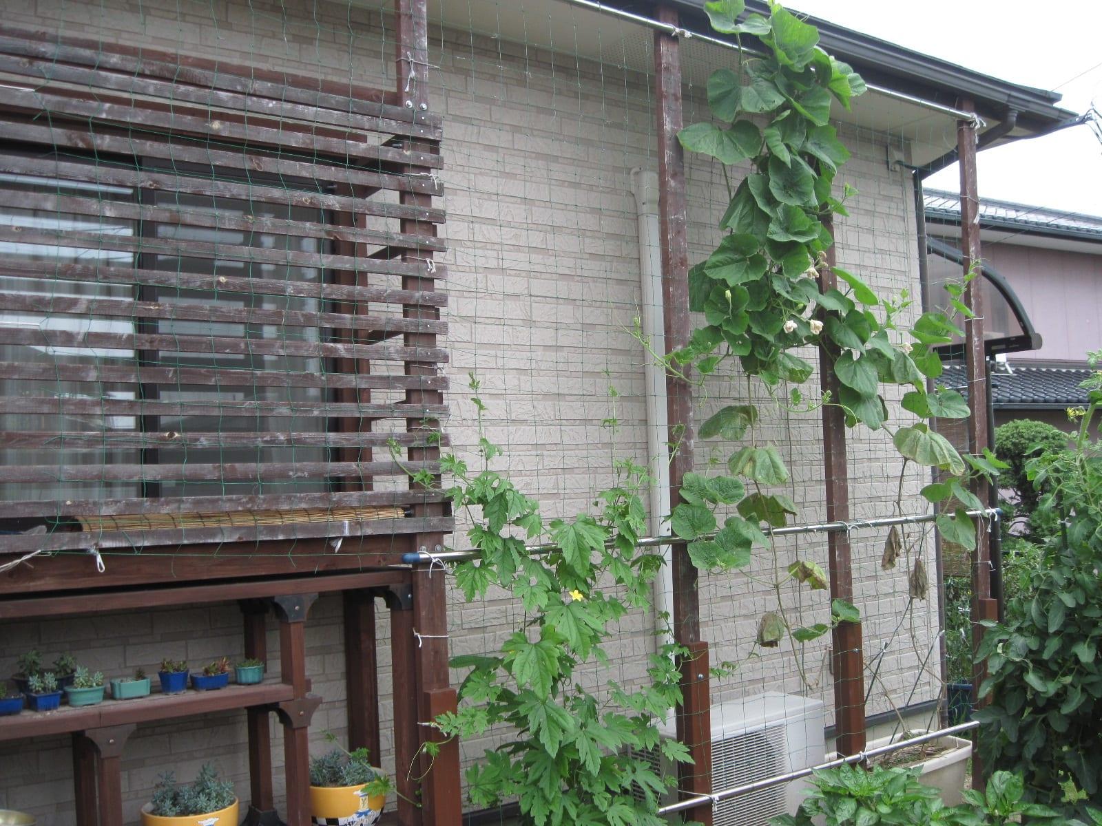 我が家の緑のカーテン・2013/06/30の画像