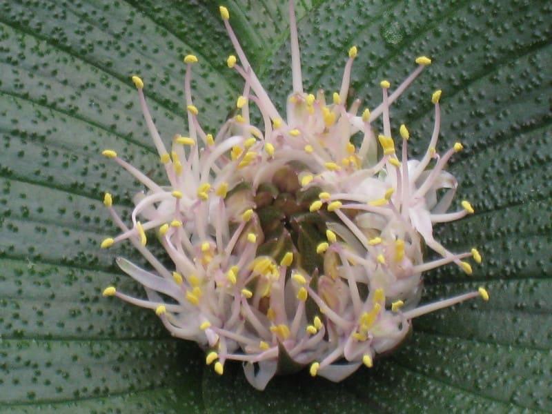 Hm001bmassoniapustulatapustulata