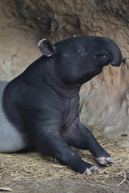 動物園 動物写真その13 『マレー...