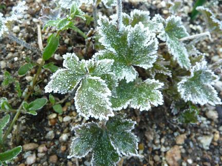 今朝は霜が降りました - 園芸大...