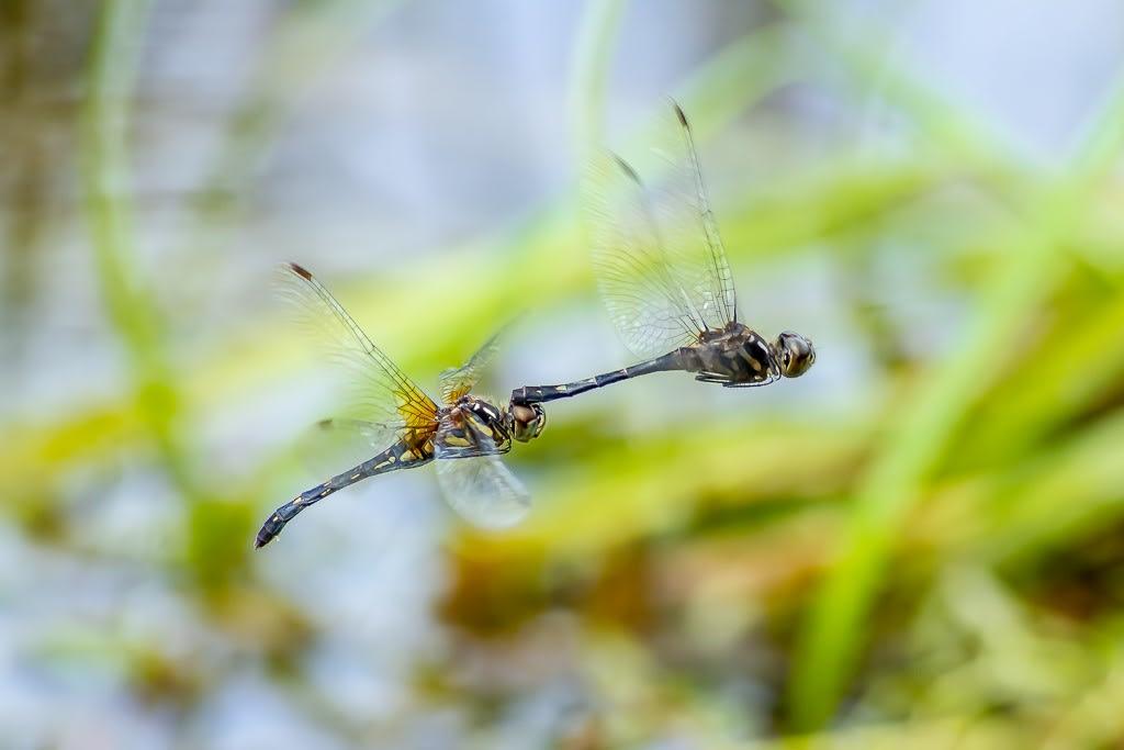 マダラナニワトンボ(連結飛翔)の写真
