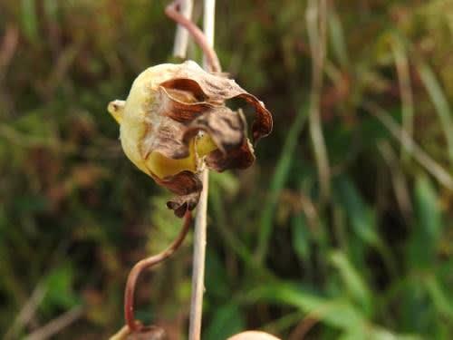 高ボッチ高原・鉢伏山で最近見る事の出来る実・種 バアソブ(婆蕎)