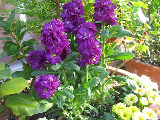 紫羅欄花 ~あらせいとう~ - Harvest*