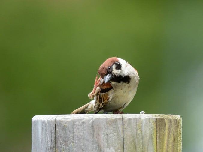 頭を掻く野鳥たち スズメ 新潟の野鳥 フィールドノート