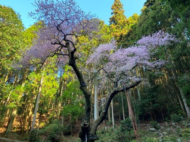 虎尾桜満開 - 三昧日記