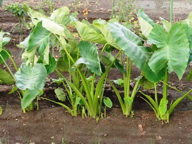 芋づる(イモヅル)サツマイモの茎:旬の野菜百科
