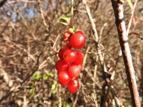 高ボッチ高原・鉢伏山で最近見る事の出来る実・種 チョウセンゴミシ(朝鮮五味子)