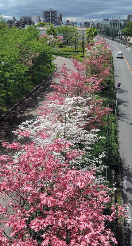 A_row_of_flowering_dogwood