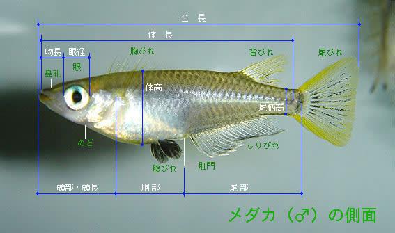 尾ひれ は ひれ 鰭 - Wikipedia