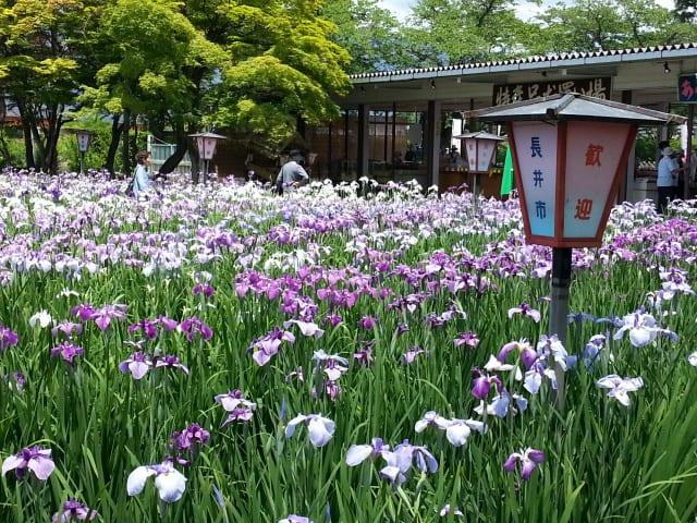 山形県長井市・あやめ公園 - 山...