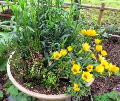カルーナの鉢