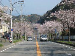 通研通りの桜