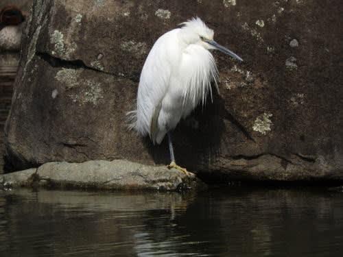 松本城で見た鳥 コサギ(小鷺)