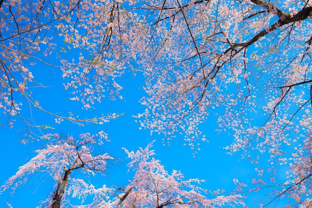 貞麟寺の枝垂桜の写真
