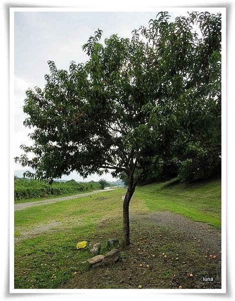 の 木 の 山椒 木 桃 驚き