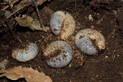 コクワガタ 幼虫