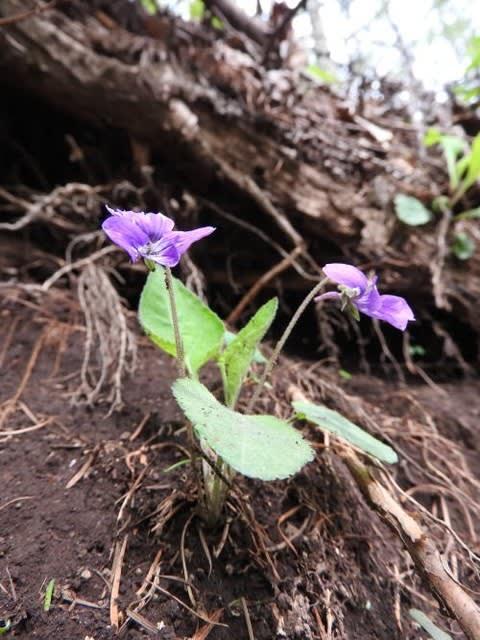 高ボッチ高原・鉢伏山で最近咲いている花 アカネスミレ(茜菫)