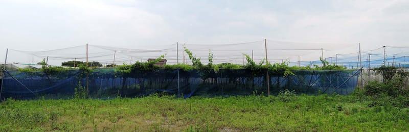 Grape_farm