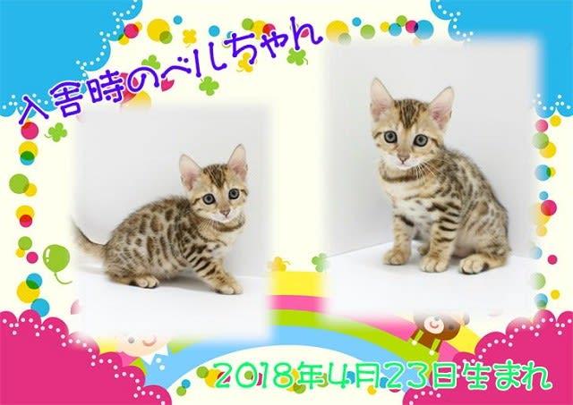 ベンガル 猫 ベル