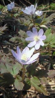 キクザキイチゲも咲き始めました。