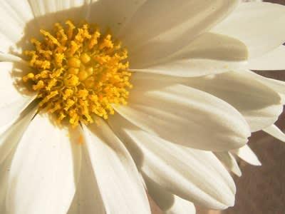 白菊ズーム
