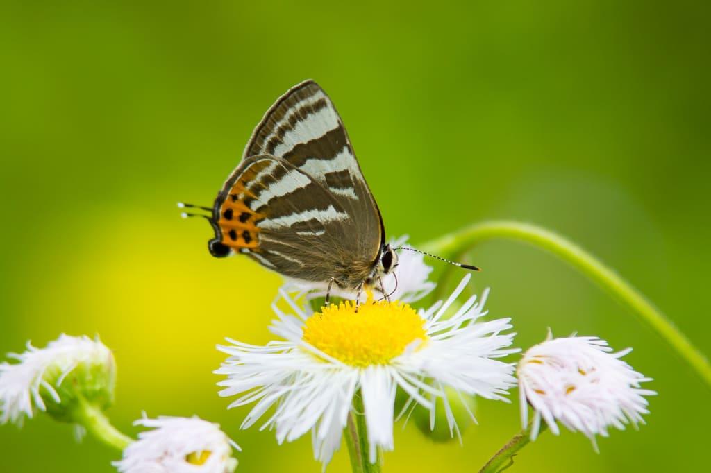トラフシジミ(春型)の写真