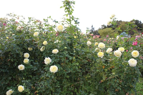 京成バラ園2014秋・快挙から - 薔薇と草花の日記
