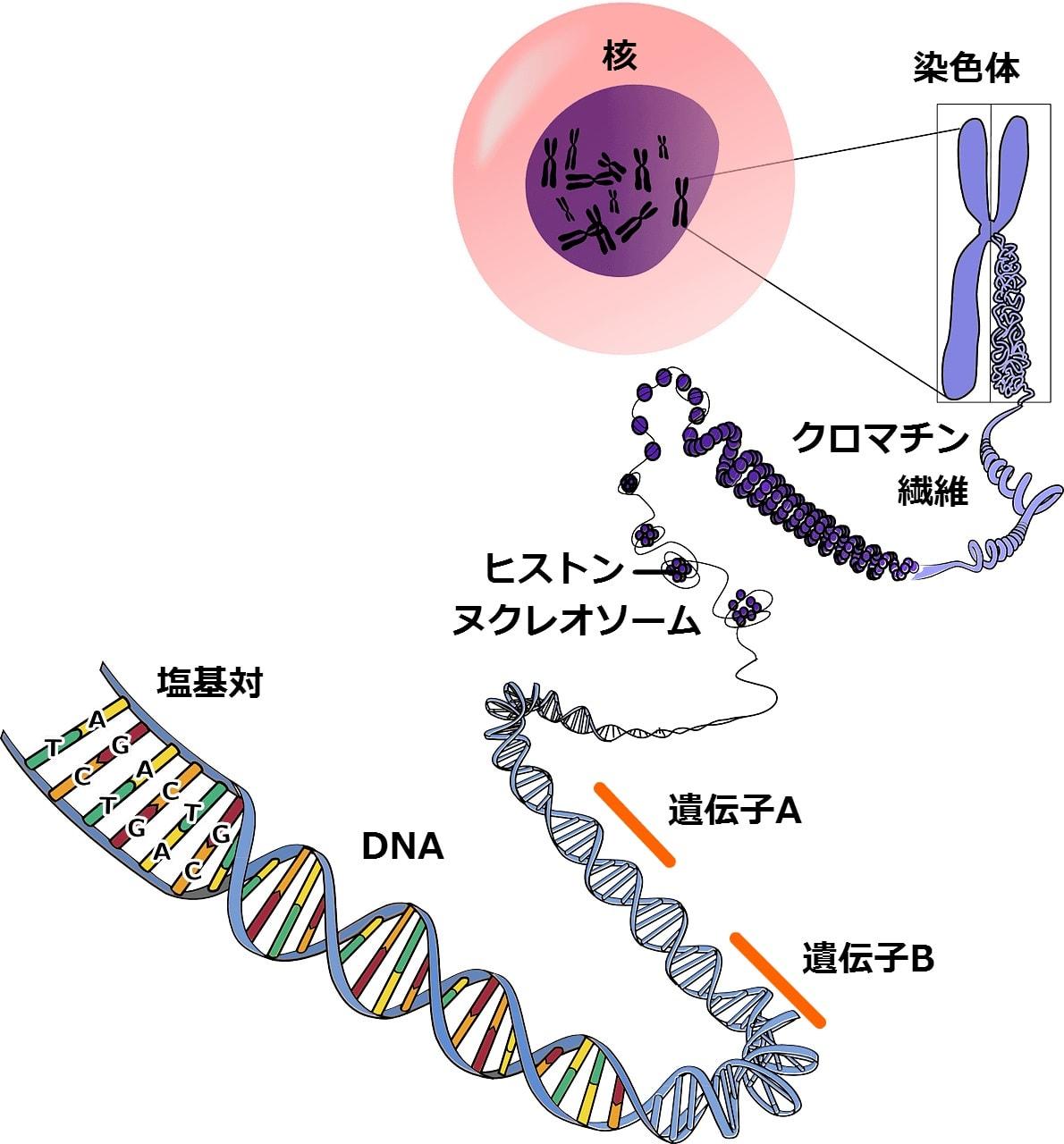 細胞の中の分子生物学 最新・生命科学入門 (森 和俊) - OMOI-KOMI ...