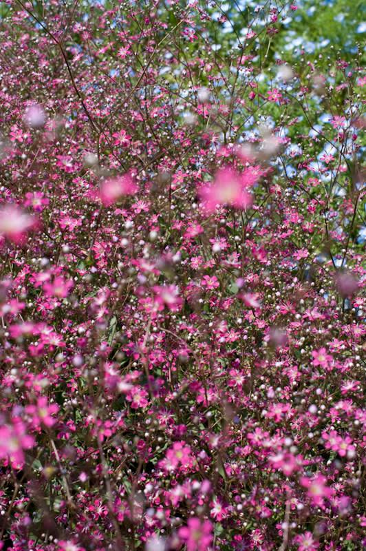 昭和記念公園のかすみ草