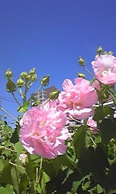 ピンクの花と青い空