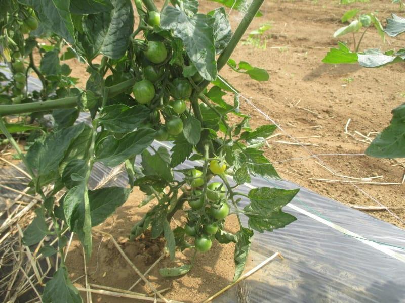 誘引 ミニ トマト