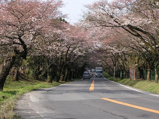 多摩湖 桜