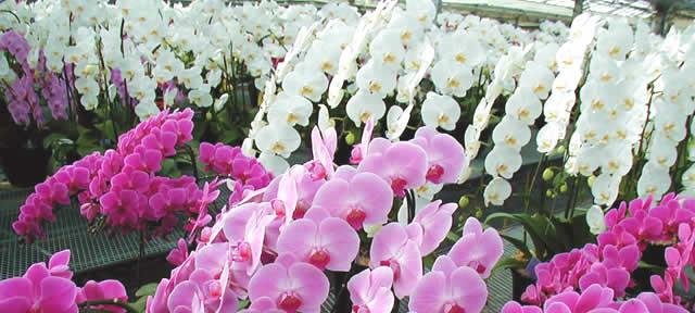 蘭花 言葉 胡蝶