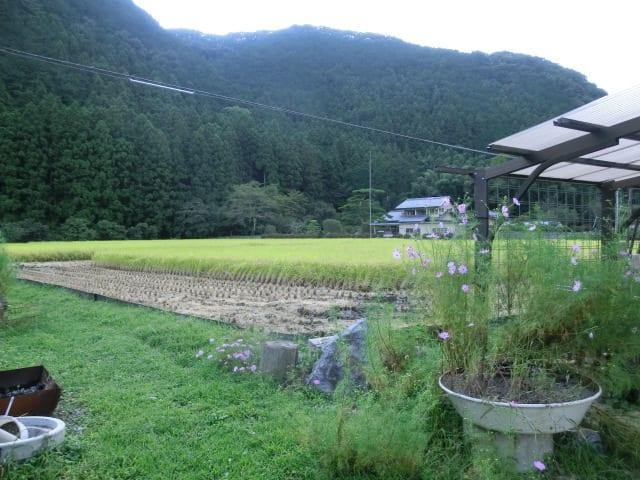 稲刈りが始まる