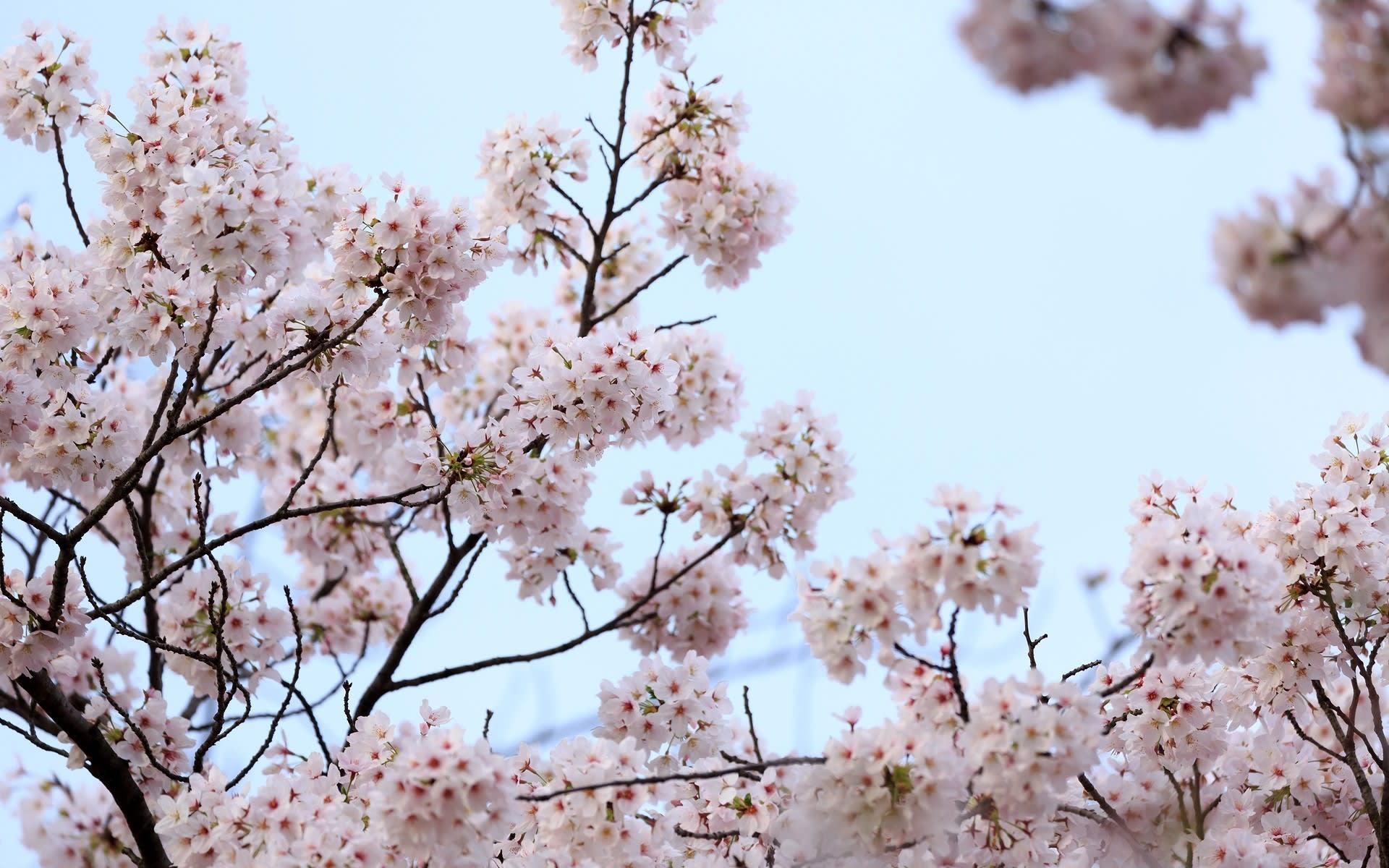 2017年桜風景 計41枚 壁紙 日々駄文