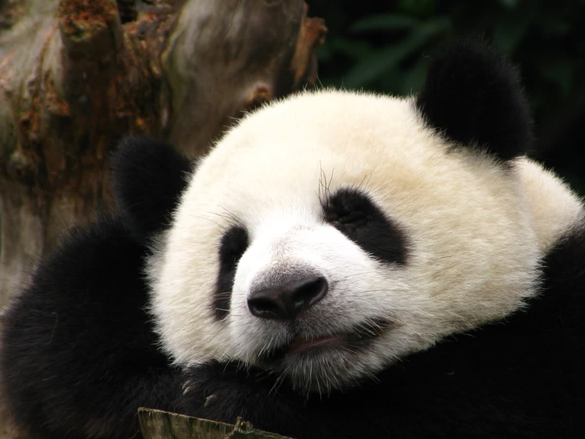 中国 成都 ( パンダ ) - 世界の パワースポット 巡り