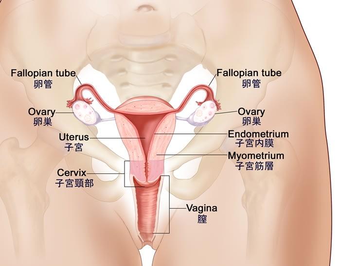 卵巣と卵管(クリックすれば、画像が拡大します。)